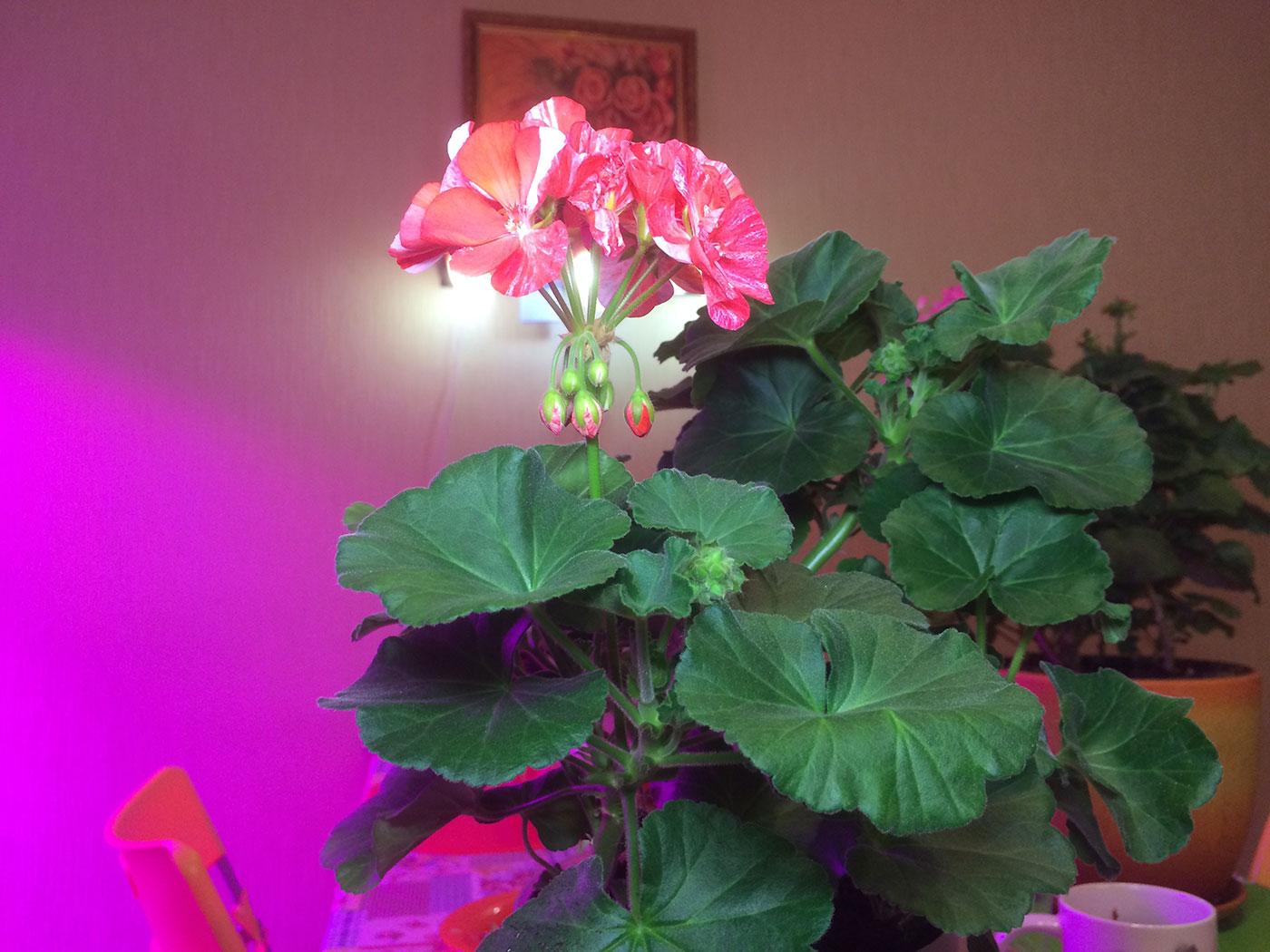 Пеларгония (Герань) - выращивание 6